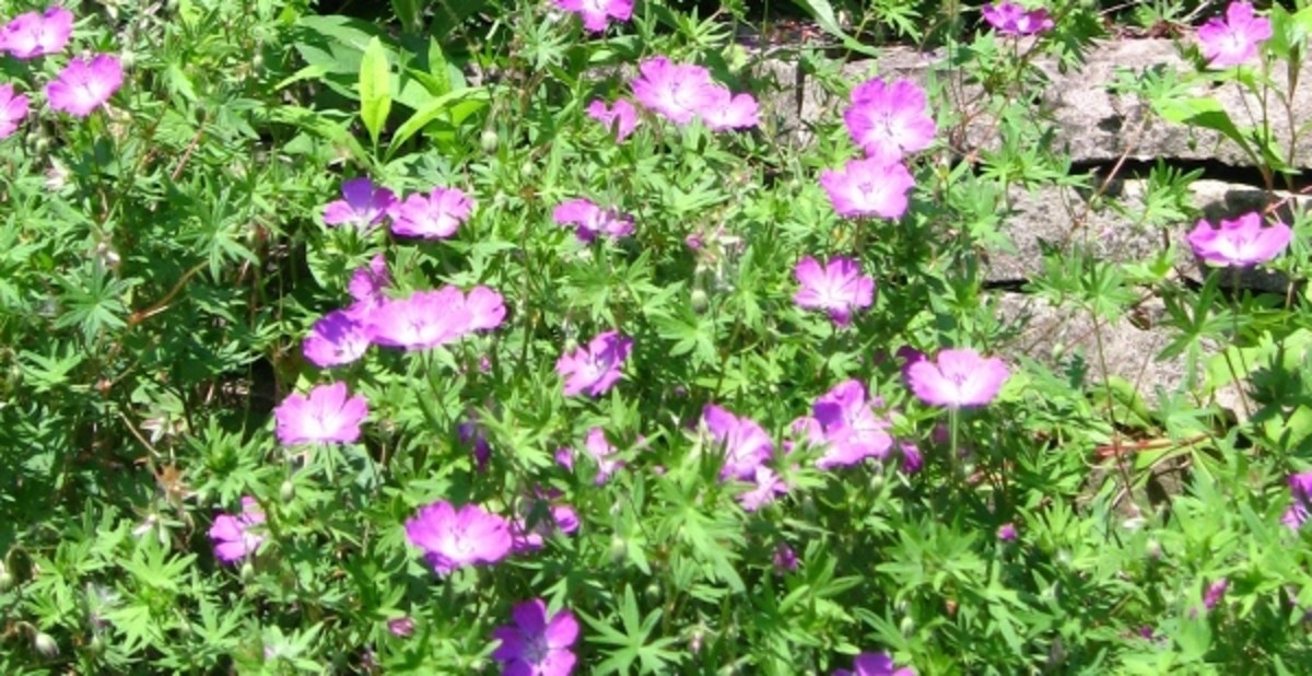 Many types of geraniums are excellent perennial ground covers.These grow and bloom every summer in my yard.