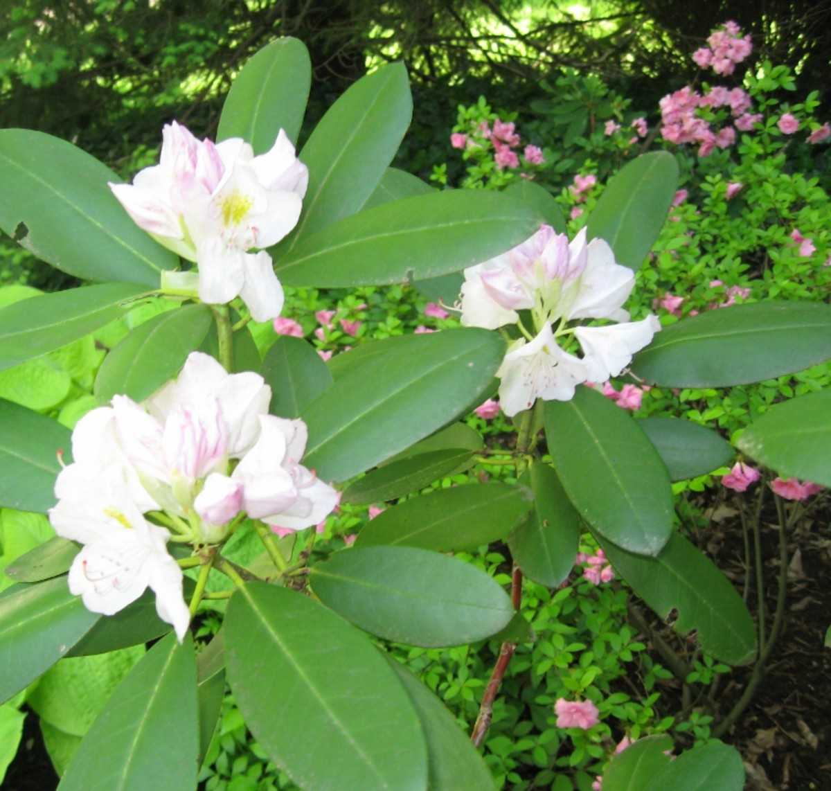 Rhododendrons and azaleas from my yard, both perennials. Azaleas are deciduous (pink flowers on right), rhododendrons have beautiful flowers in spring, and stay green all year long, providing great texture and color also in the coldest winter months.