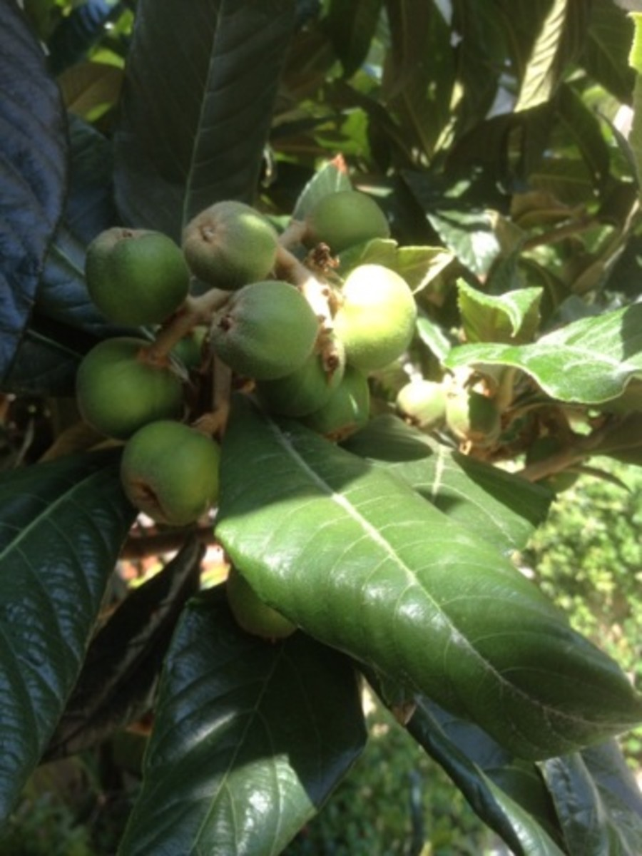 Not-yet-ripe loquats still in their green stage.