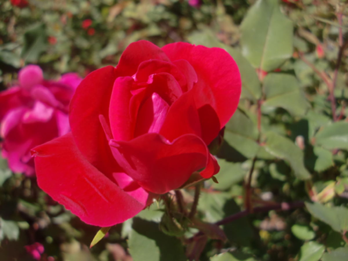 Knock-Out Roses are a good rose to start with since they are very disease-resistent and very tolerant.