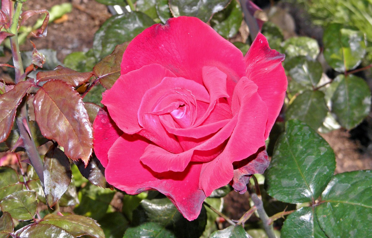 Hybrid Tea Rose are some of the most popular roses across the world.