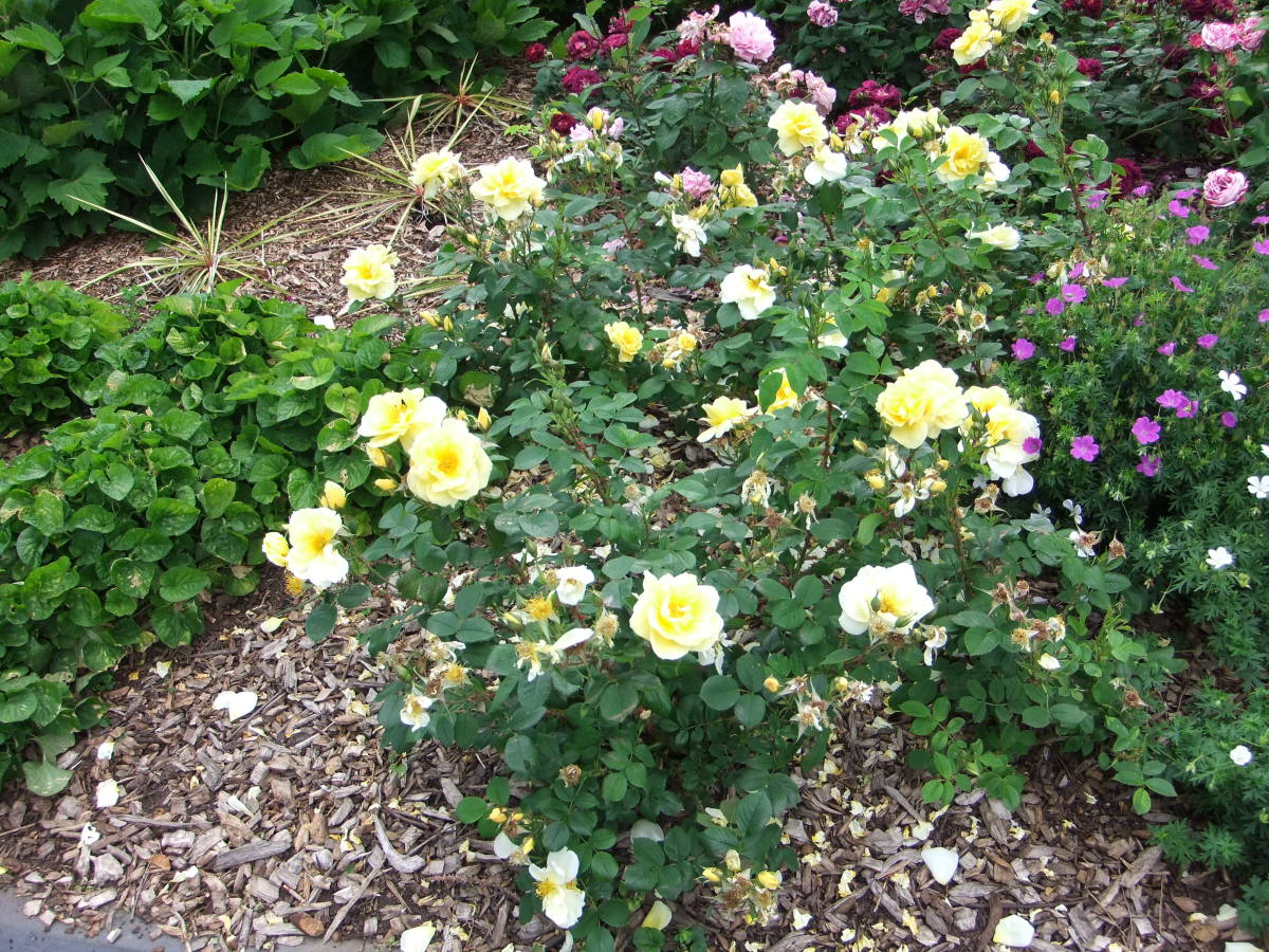Yellow roses—by pruning the inside of your rose bush, it will allow air to circulate and you will have more flower growth.