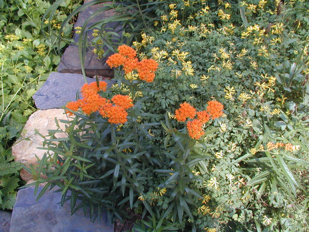Picture of Asclepias