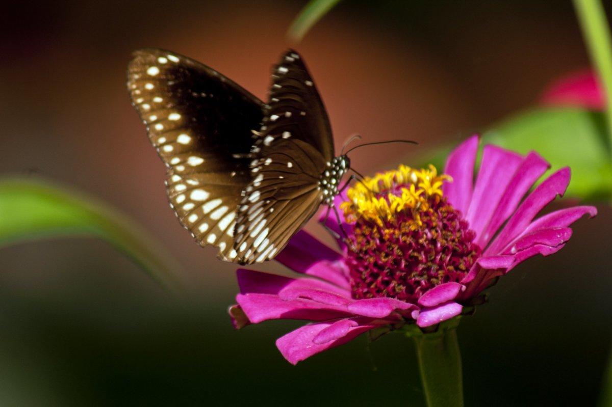 Butterfly On a Zinnia Flower