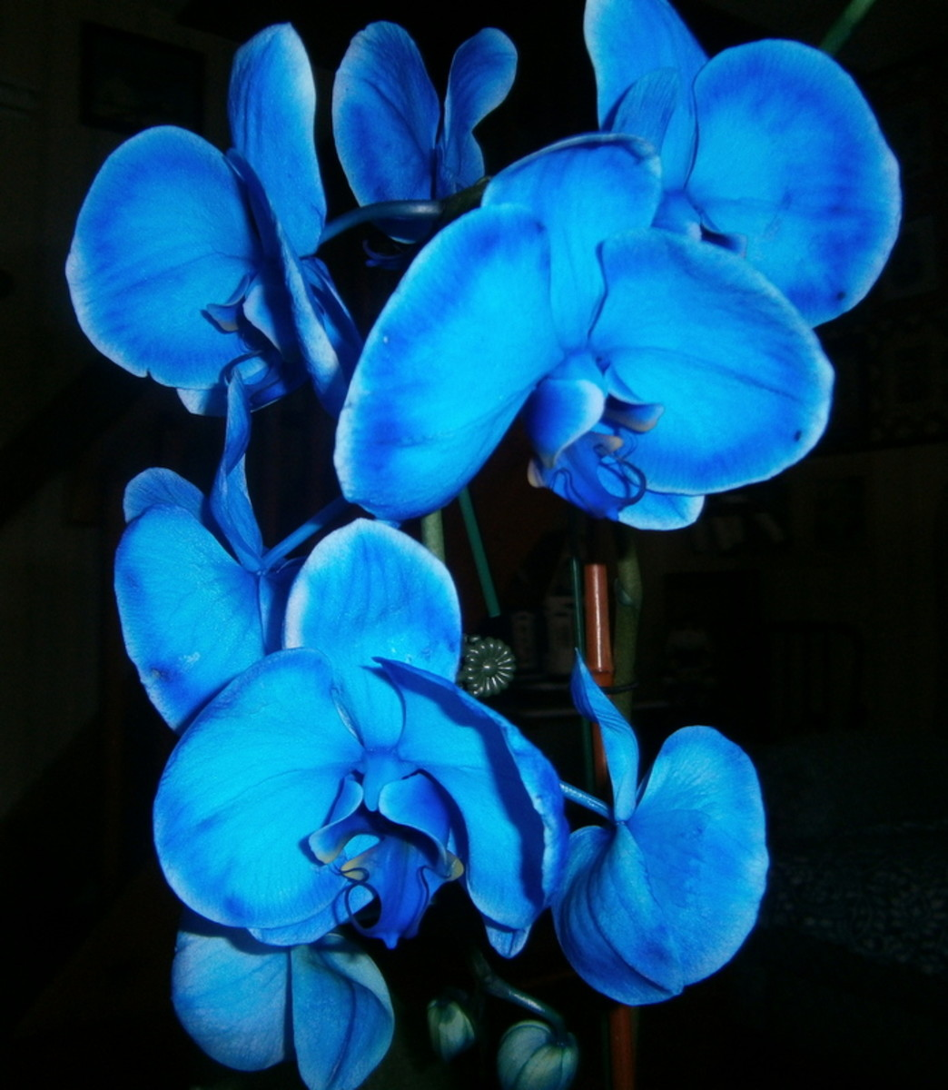 the-blue-orchid-also-known-as-the-blue-mystique-orchid-photos-and-tips-on-how-to-grow