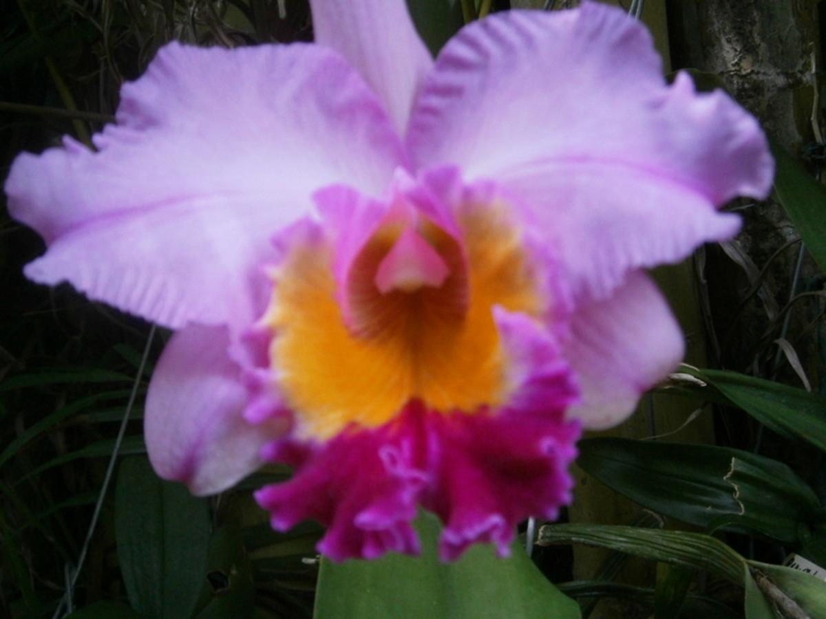 My Cattleya Orchid