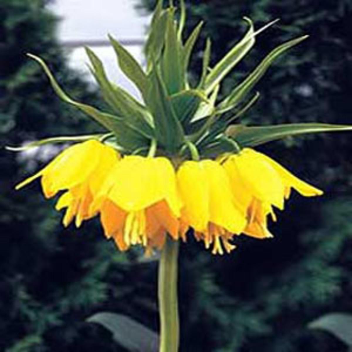 Fritillaria Imperial Bulb 'Lutea'