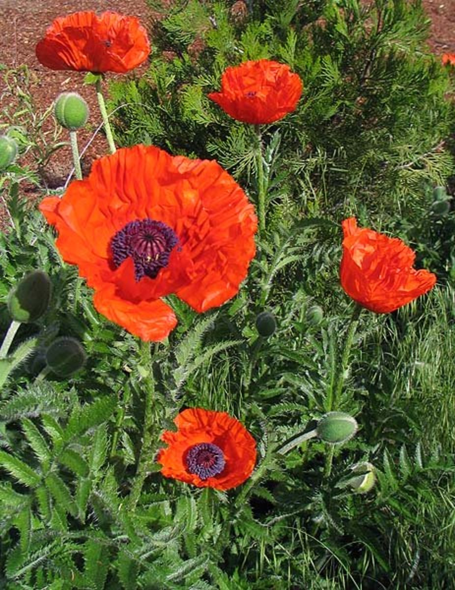 Oriental poppy.
