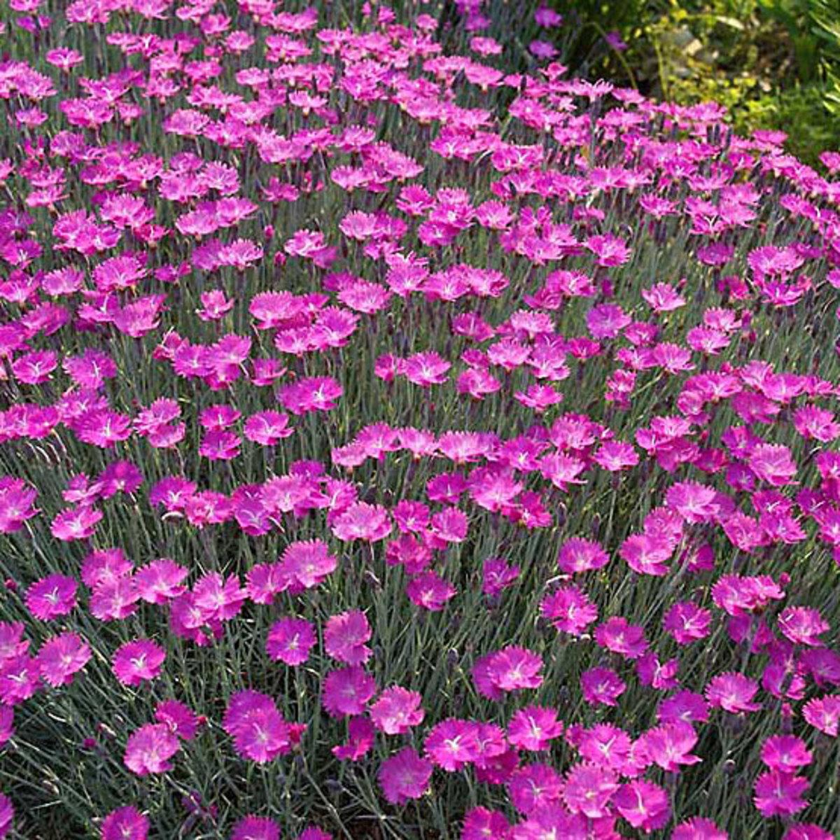 Dianthus cheddar pink.