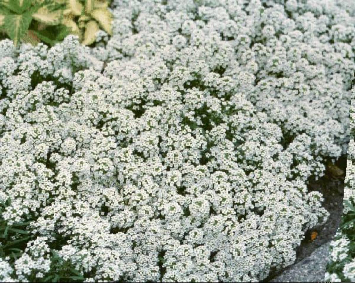 Alyssum  - Lobularia Maritima