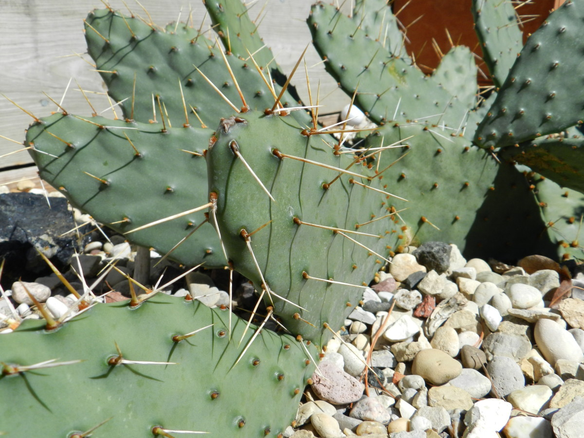 Prickly pear cacti in a rock garden that receives sunlight most of the day. Protected from winter winds by a garage and fence.