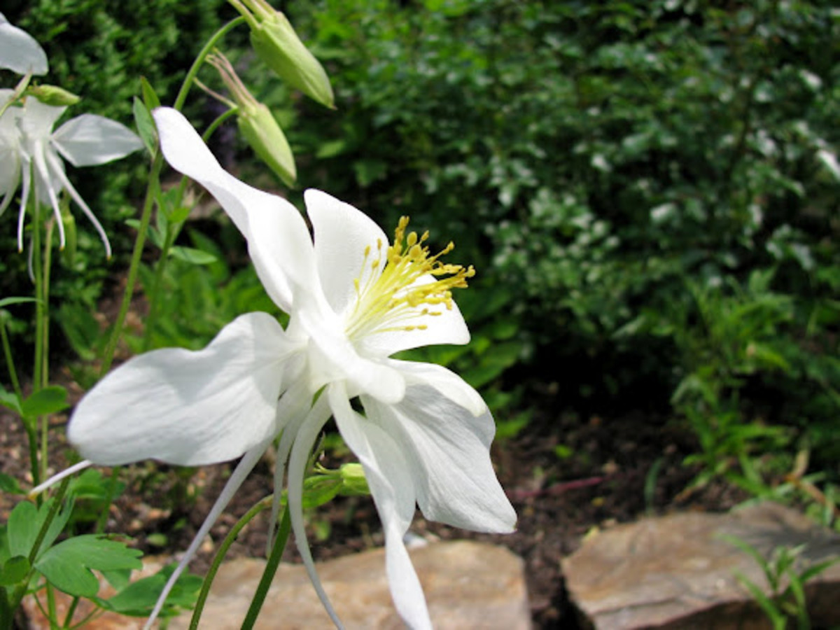 Fragrant columbine