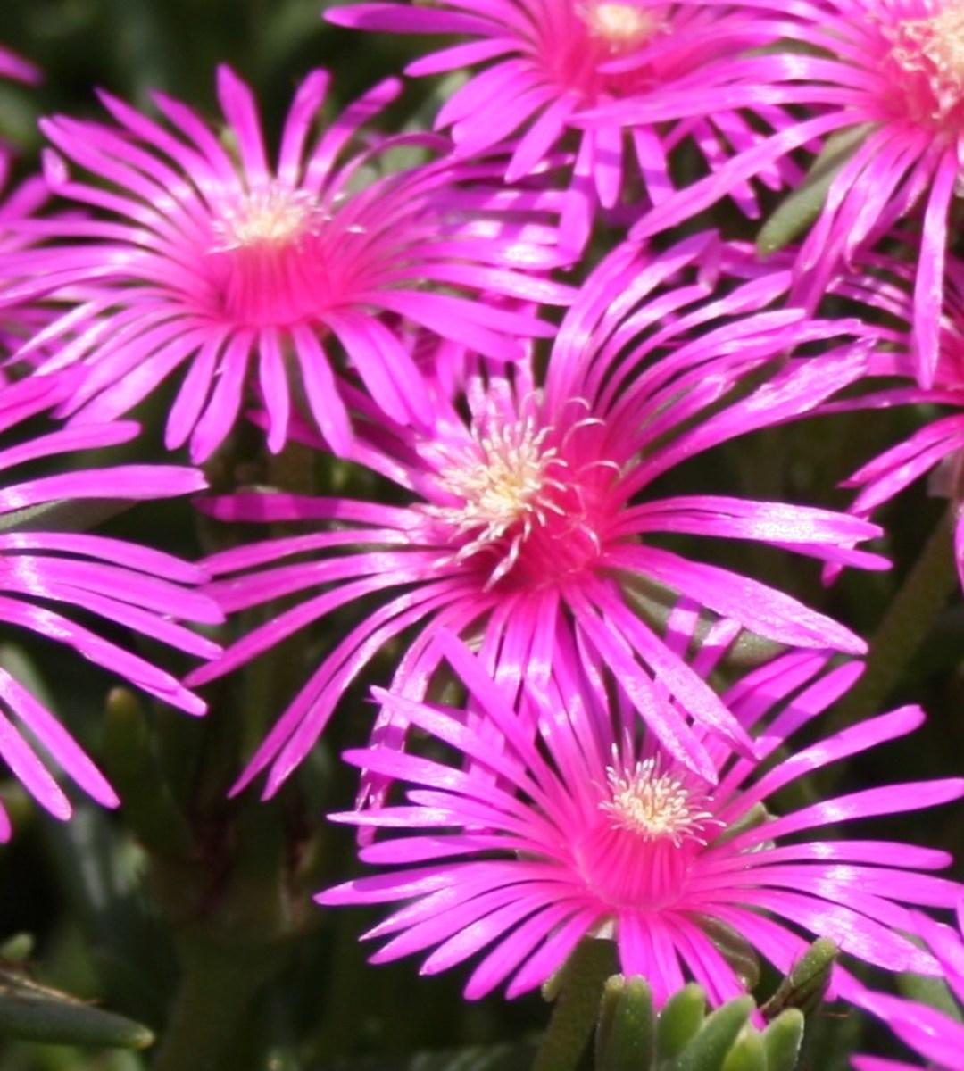 The hardy purple ice plant, Delosperma cooperi, is a pretty hot pink ground cover.