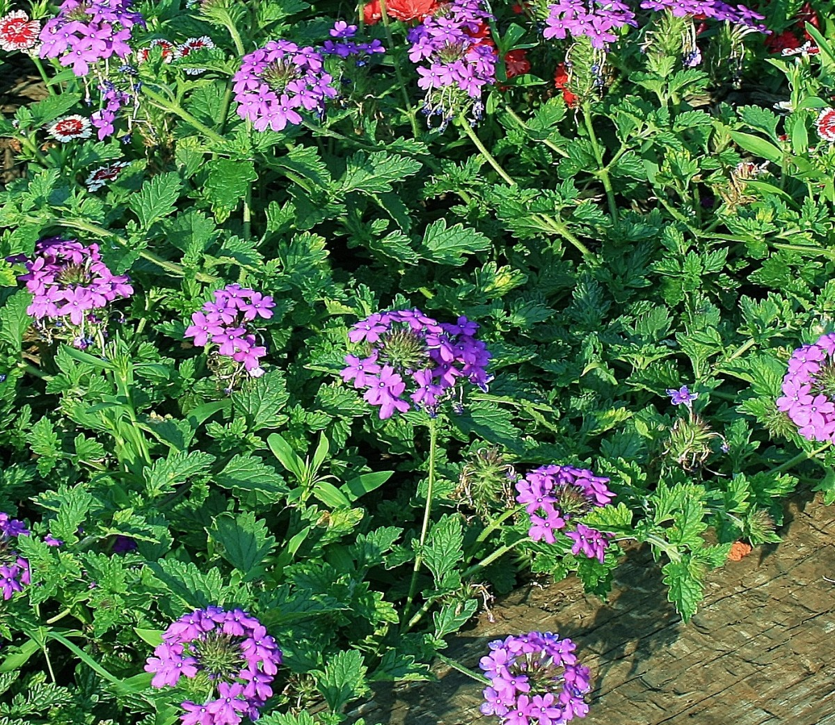 Homestead Purple's flowers are a vibrant, eye-catching lavender.