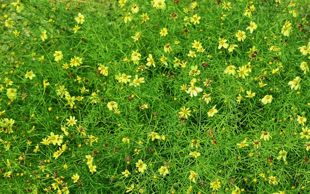 Low-growing varieties of coreopsis make great ground covers in dry, poor-soil areas.