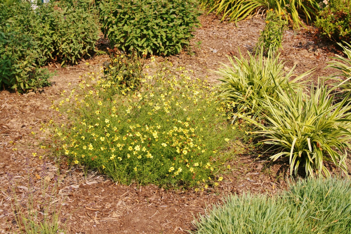 Whether planted in a landscaping island, a flowerbed or along a roadway, tickweed takes the heat and keeps on blooming all summer long