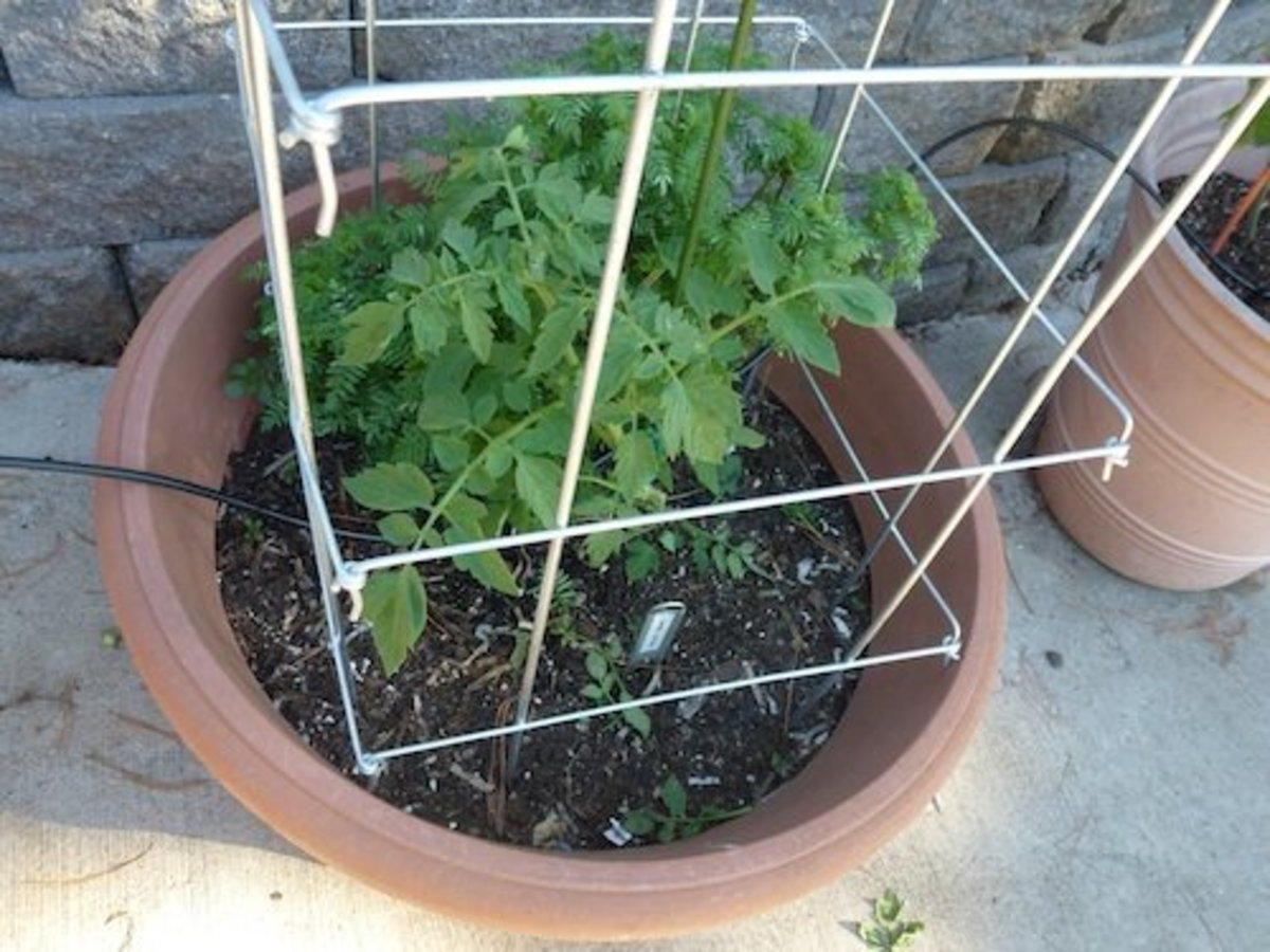 Collapsible tomato pens or folding cages are ideal support for tomatoes if the are well made and sturdy.