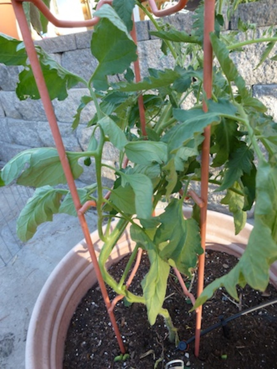 This tomato support works well in containers or in the garden. To get easy access to fruit, keep plants pruned.