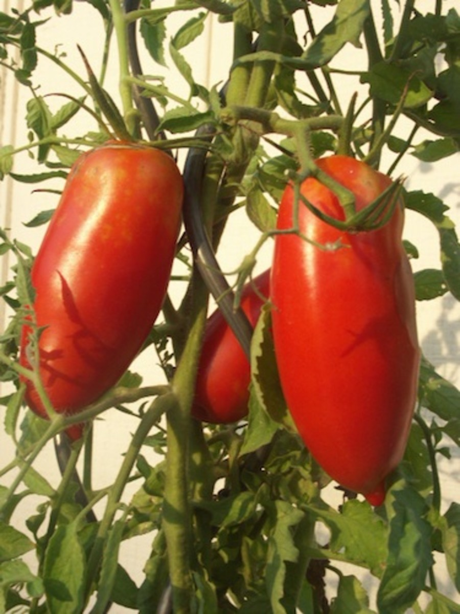 Artistic tomato spirals are ideal for Roma tomatoes and determinate vines.