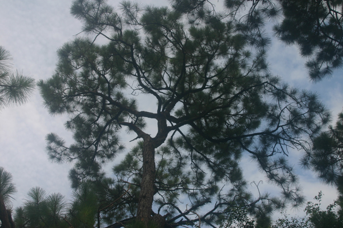 How the pine needles play with the clouds!