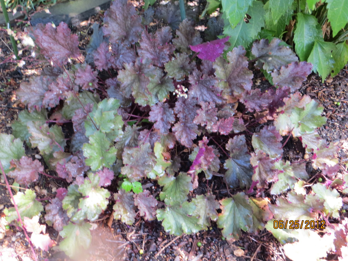 Coral bells with ruffled edges