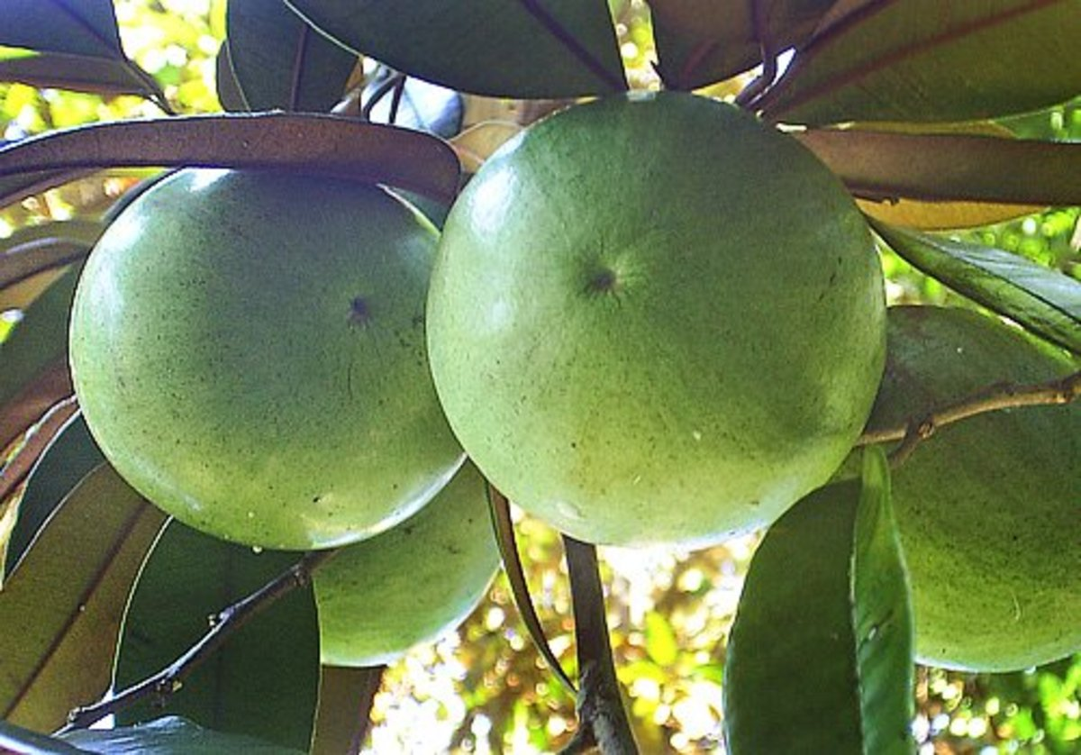 tropical-taste-of-hawaii-the-shiny-star-apple