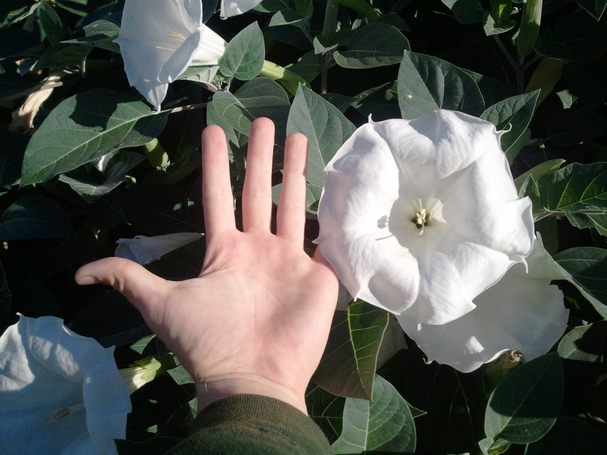 Datura flowers are very large.