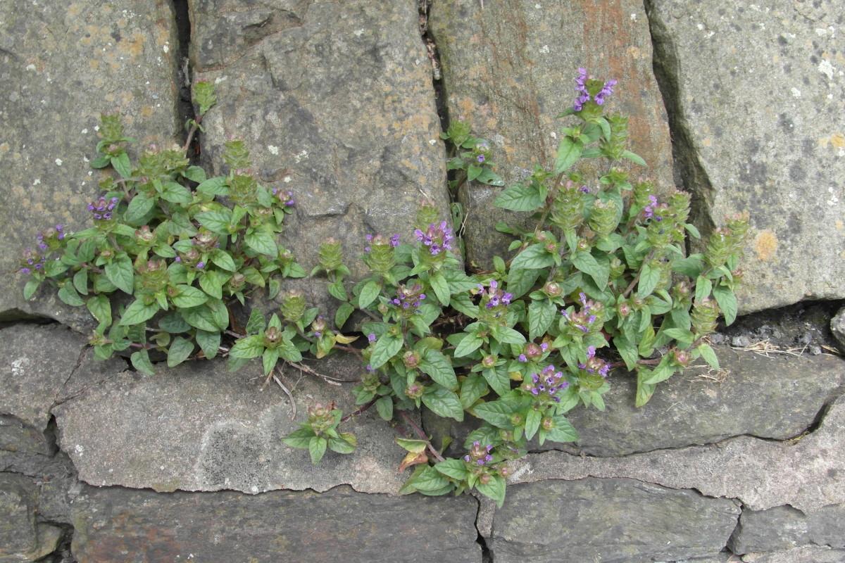 Self heal growing on a wall