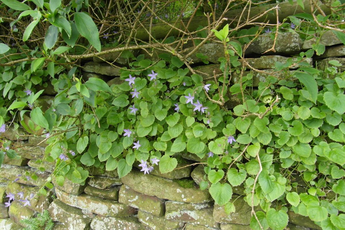 Campanula growing in a wall