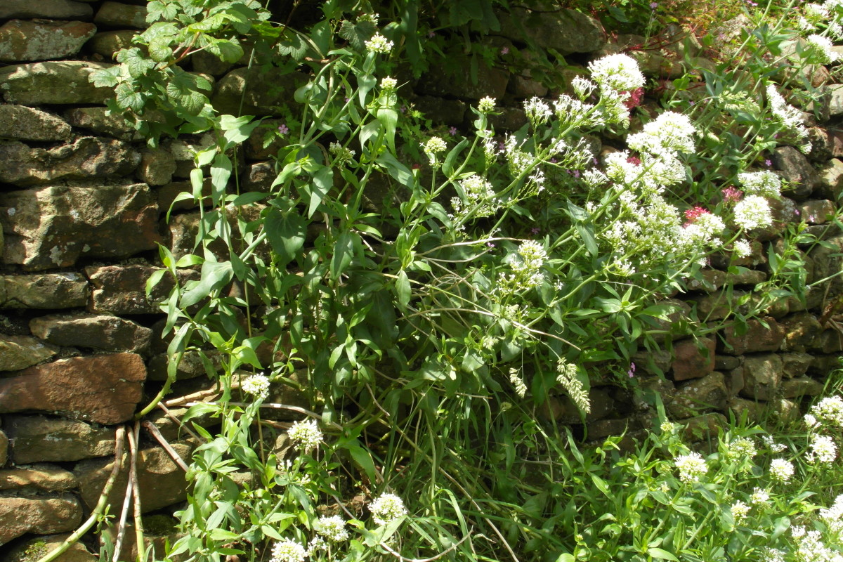 White valerian growing in a wall