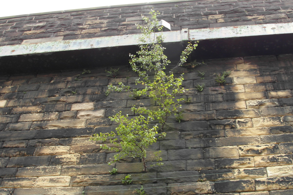 Birch tree saplings growing in a wall—probably not what you want!