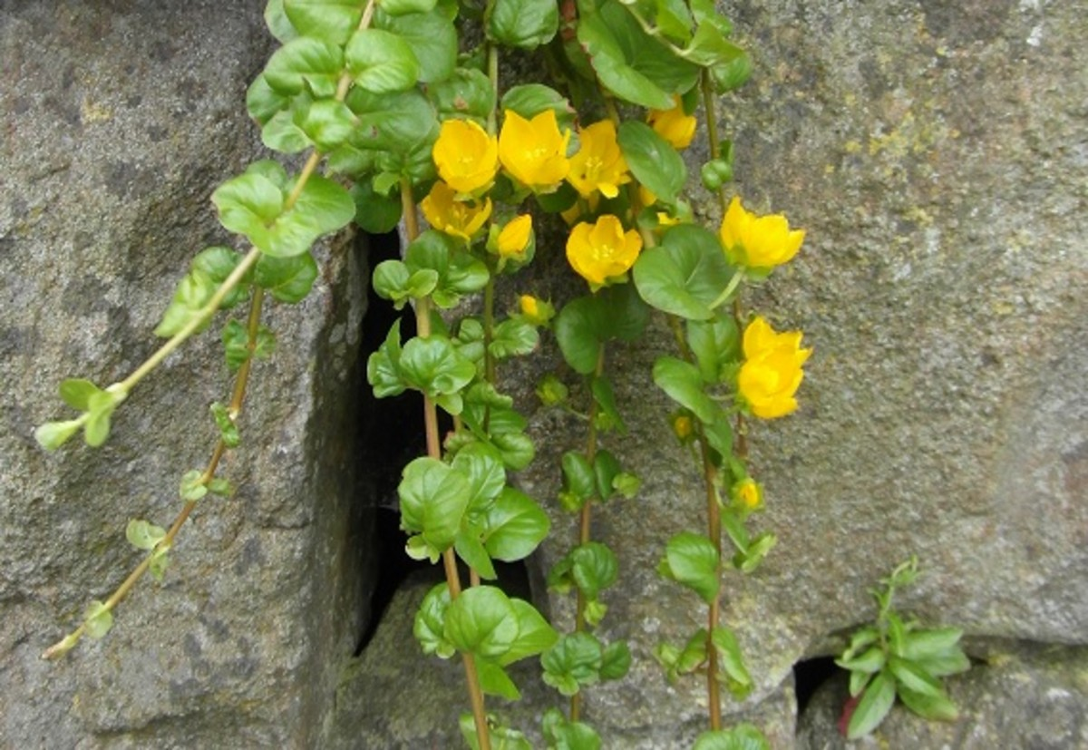 Creeping Jenny growing in a wall