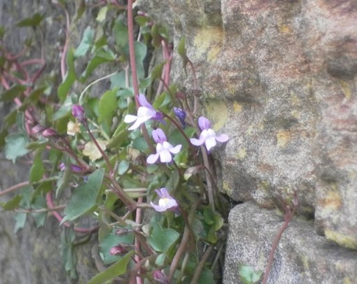 Ivy leaved toadflax