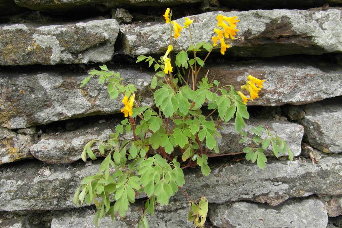 Yellow corydalis growing in a wall