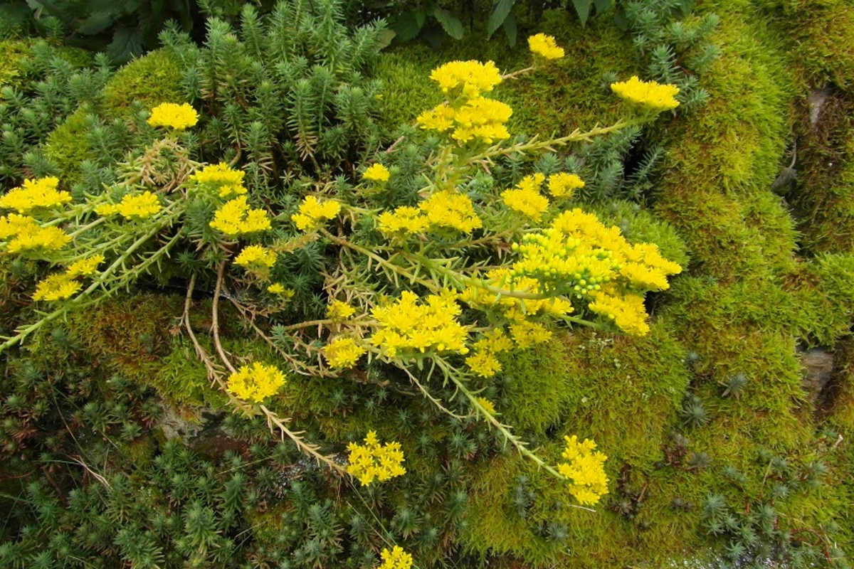 Stonecrop and moss
