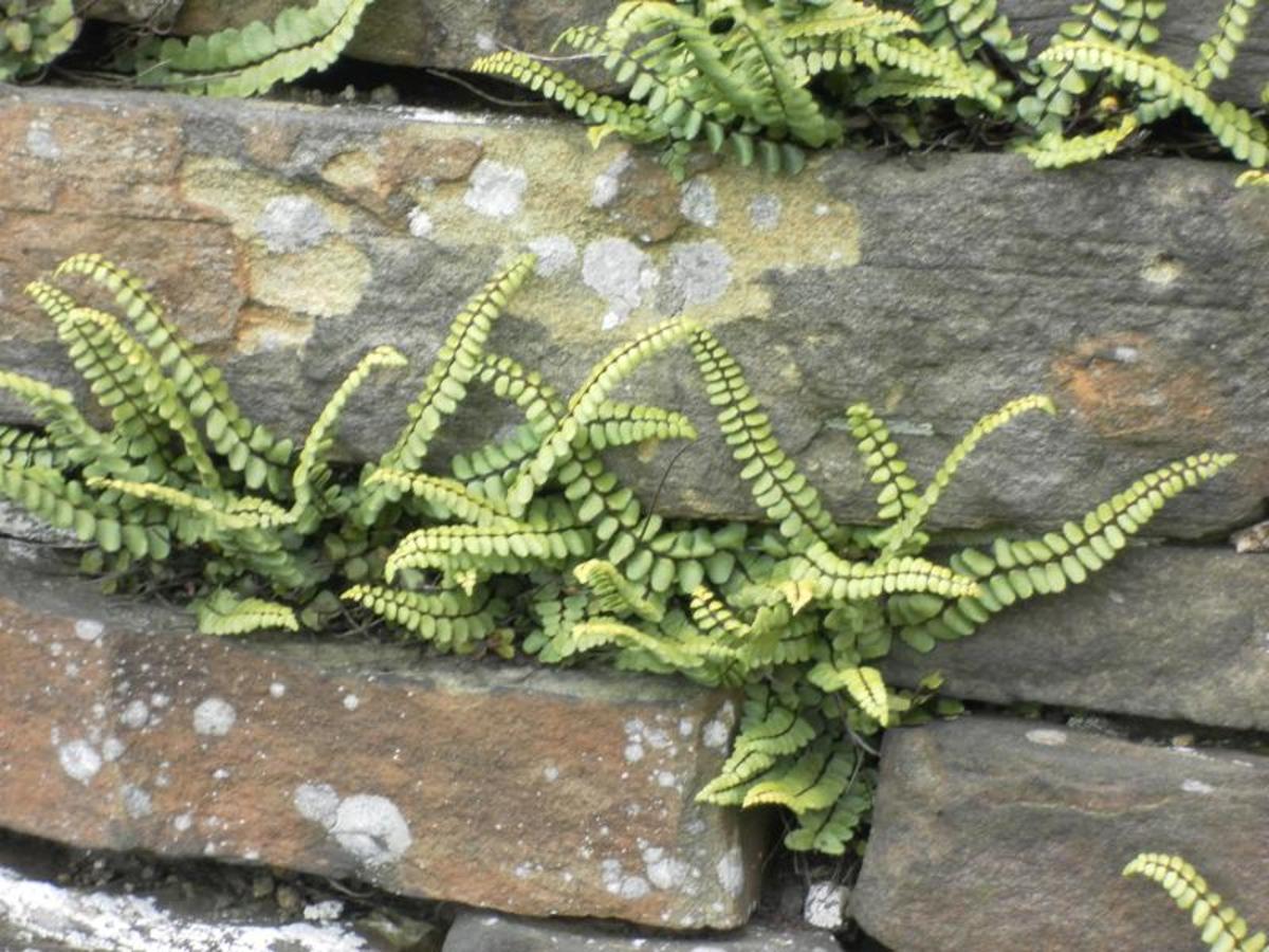 Though not a flowering plant, maidenhair spleenwort looks attractive growing in walls