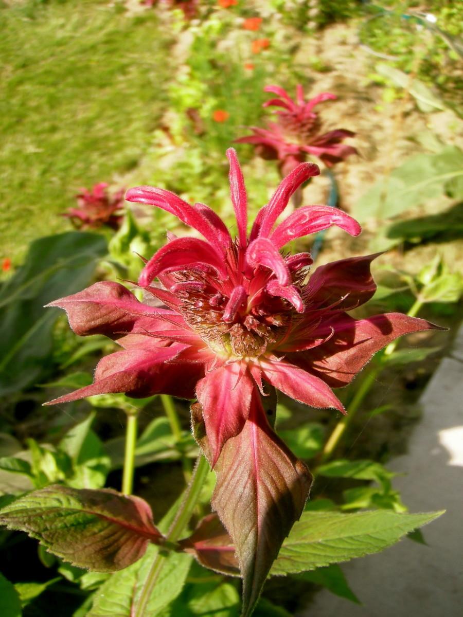 Monarda flowering