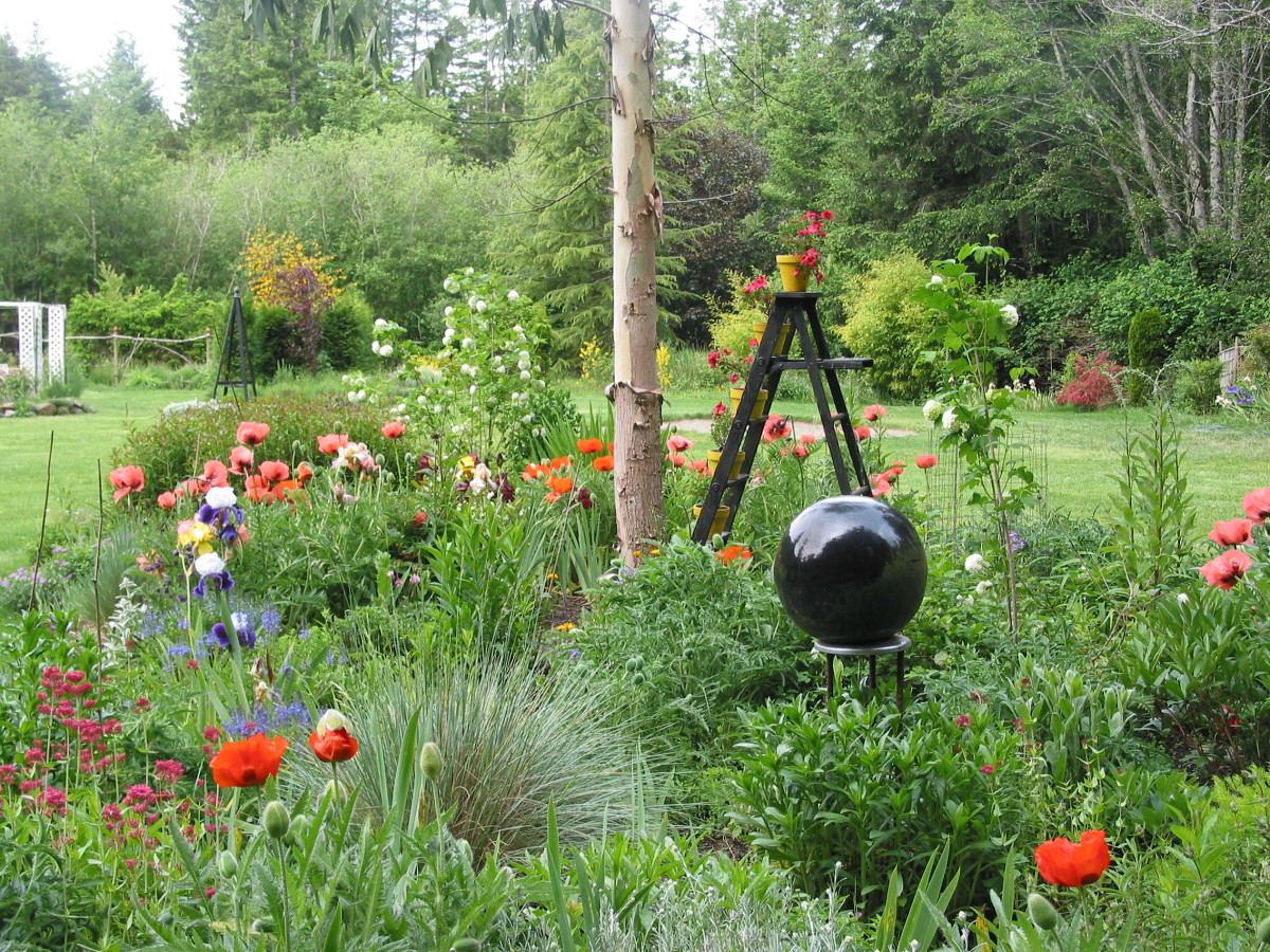 Orange and pink oriental poppies, pink monarda, and blue and white iris spark colours amidst the shades and textures of foliage.  As a black ladder adds vertical interest, a black gazing ball, like a reflecting pond, encourages introspection.