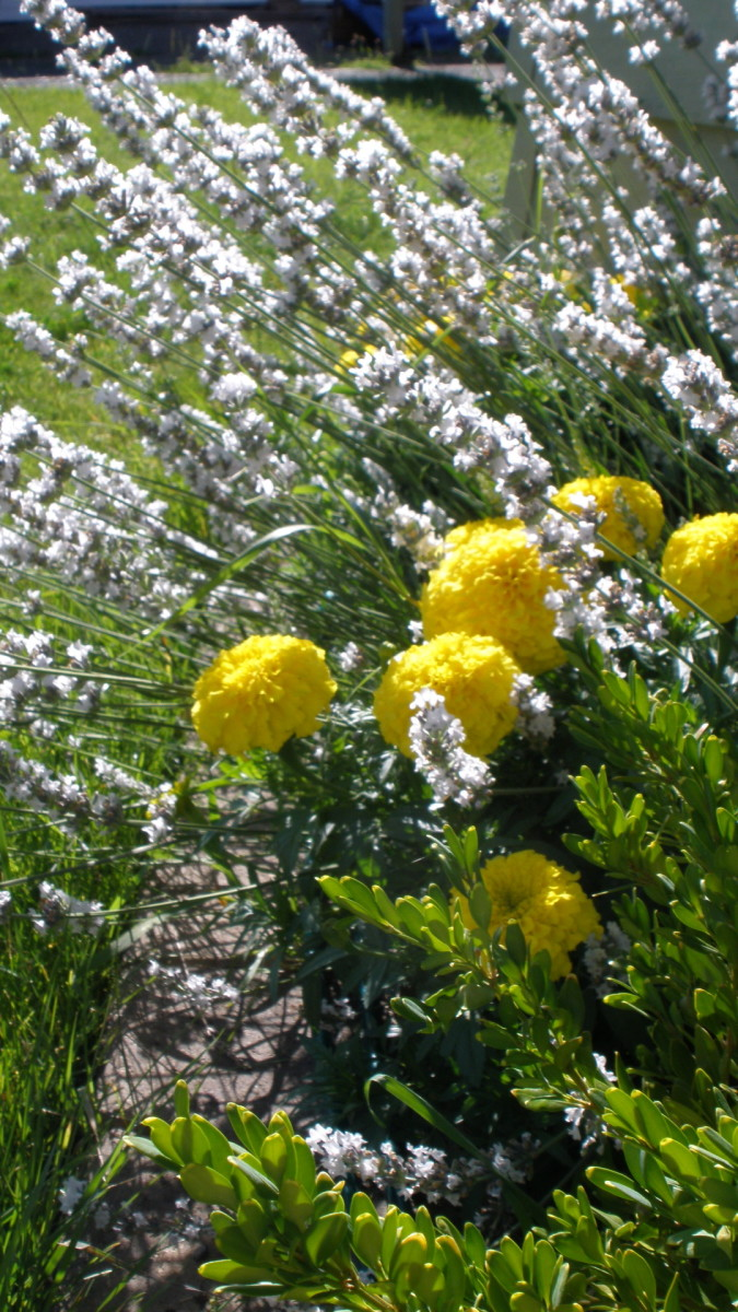 White lavender with marigolds