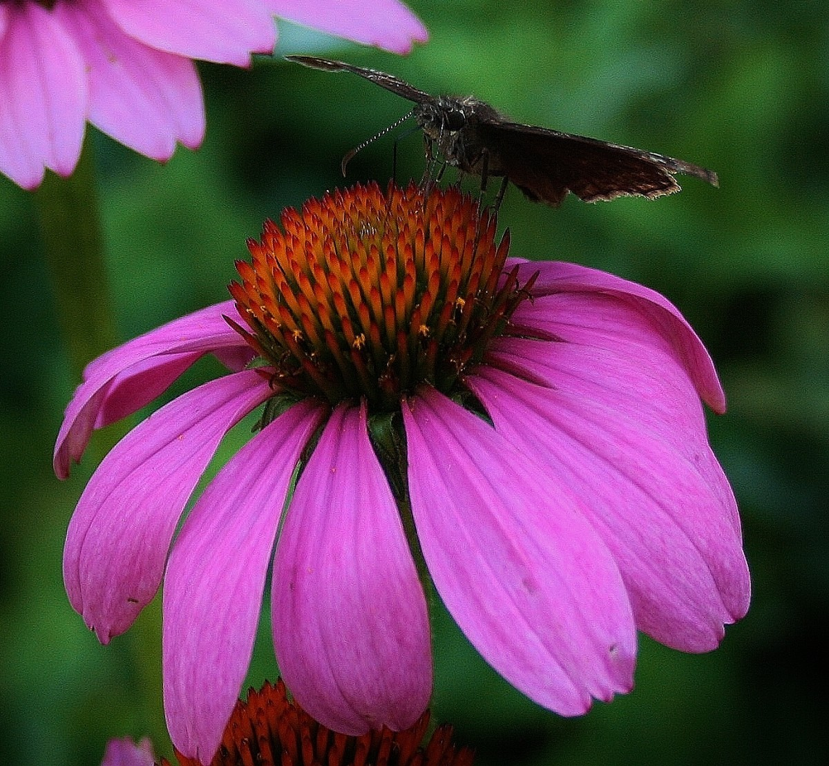 Purple coneflower (Echinacea), often grown as a cutting flower in home gardens, may also be cultivated for the medicinal properties of its roots.