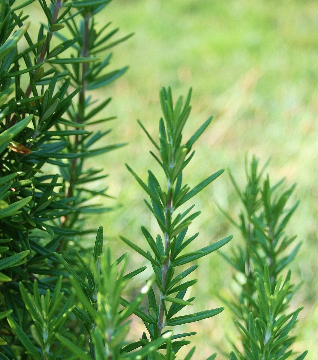 Rosemary has long been considered a sign of friendship. Grow it in your mailbox garden or add a sprig of rosemary to a homemade gift.