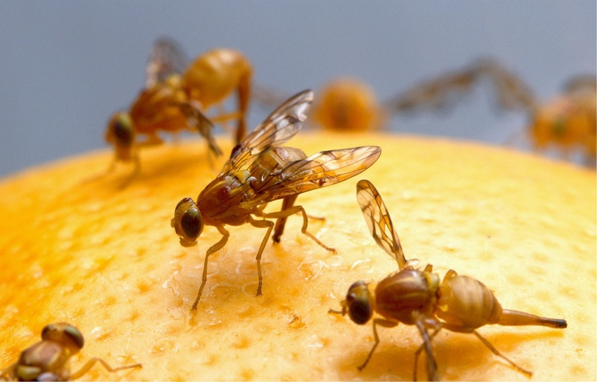 Fruit flies are attracted to rotting fruit, to make sure all the fruit in your fruit basket is fresh and clean.