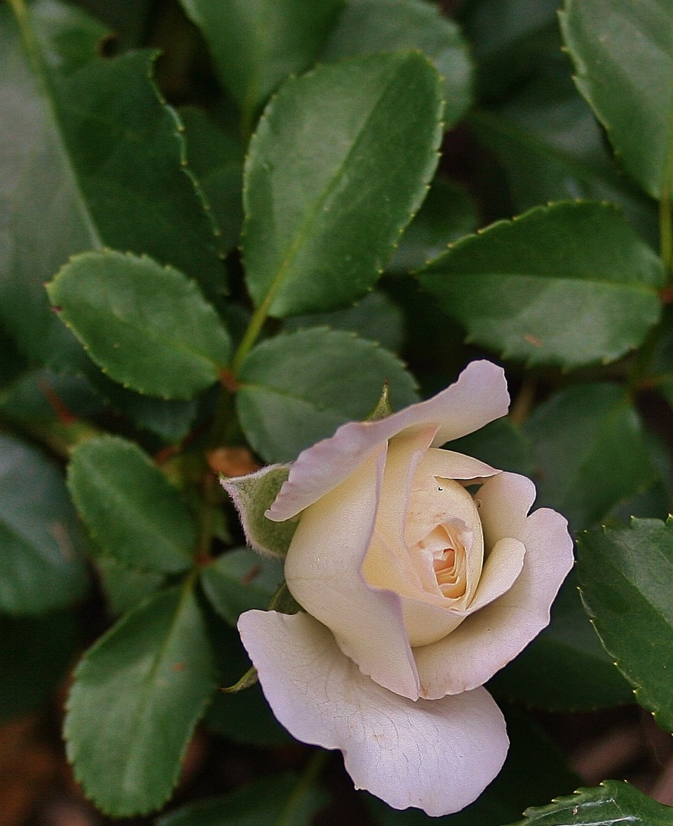 "See ""spot"" run! Healthy roses begin with simple, basic gardening practices. This landscaping rose, previously infected with black spot, is a great example of that."