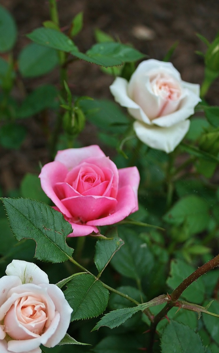 This miniature rose bush is a grafting of red, cream and pink roses. The red rarely blooms at the same time as the rest.