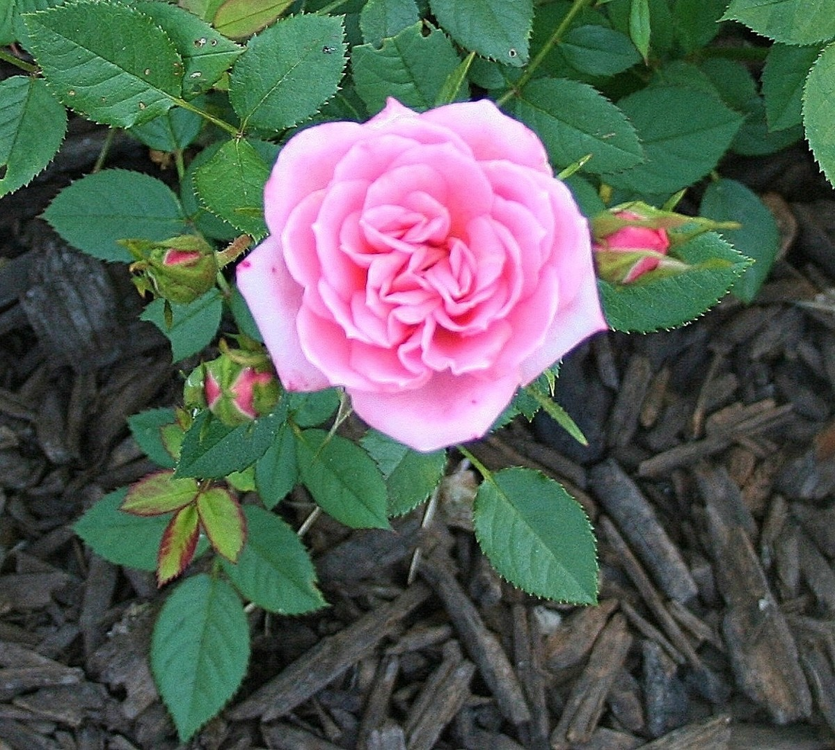 Black Spot On Roses Prevention And Treatment Dengarden