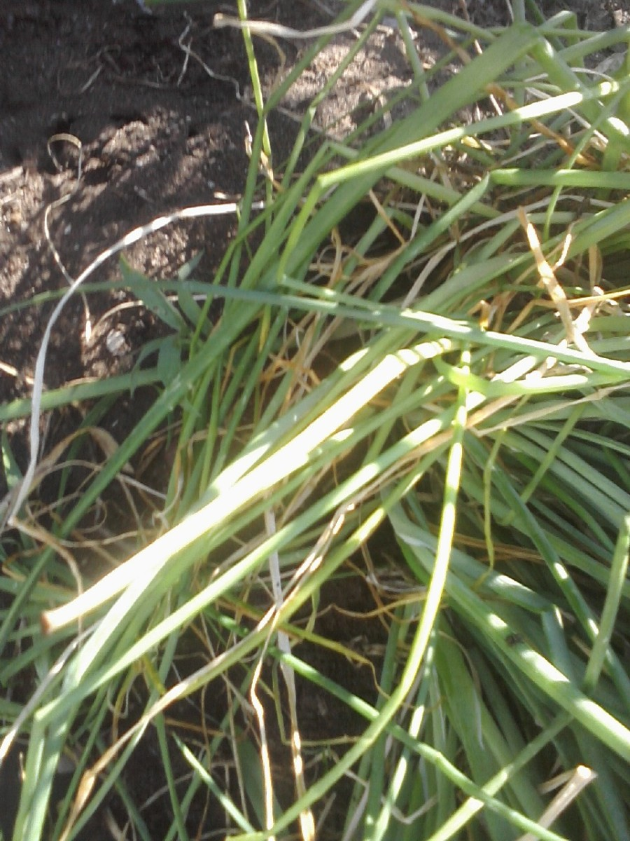 how to get rid of onion grass in garden