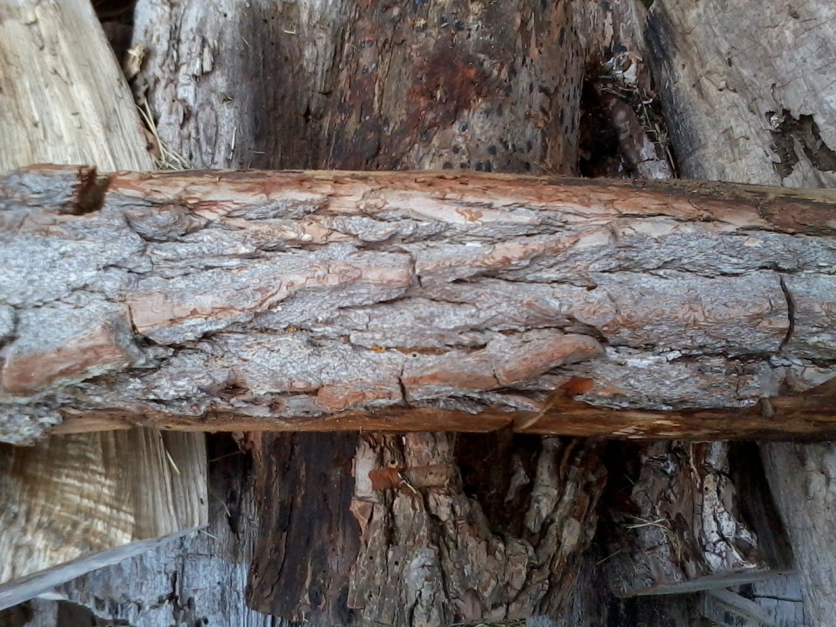 The bark of a younger branch of a Sassafras tree. Note the red-orange underbark.