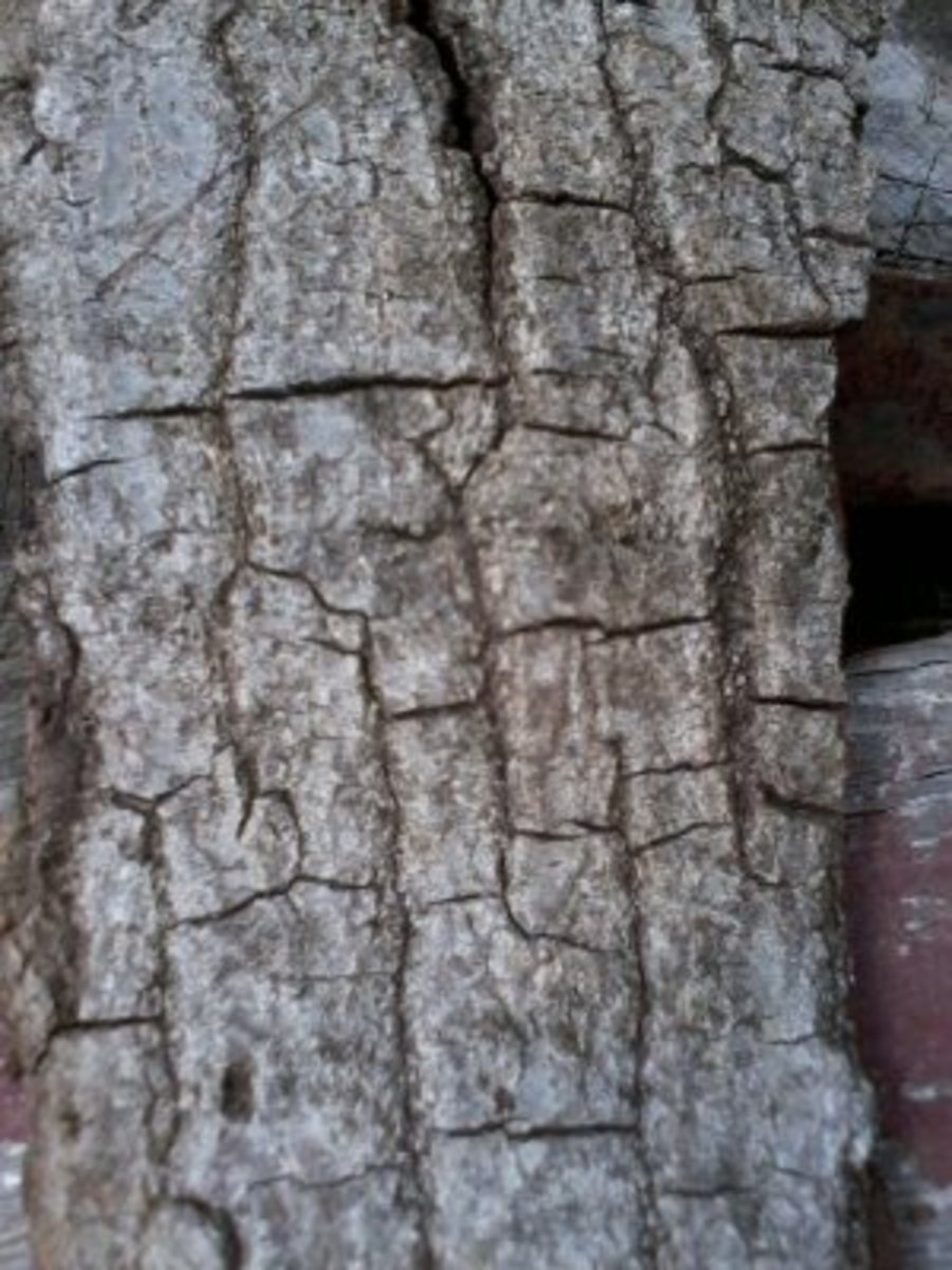 Red Oak bark. It's worth noticing the irregular crevice-like pattern.