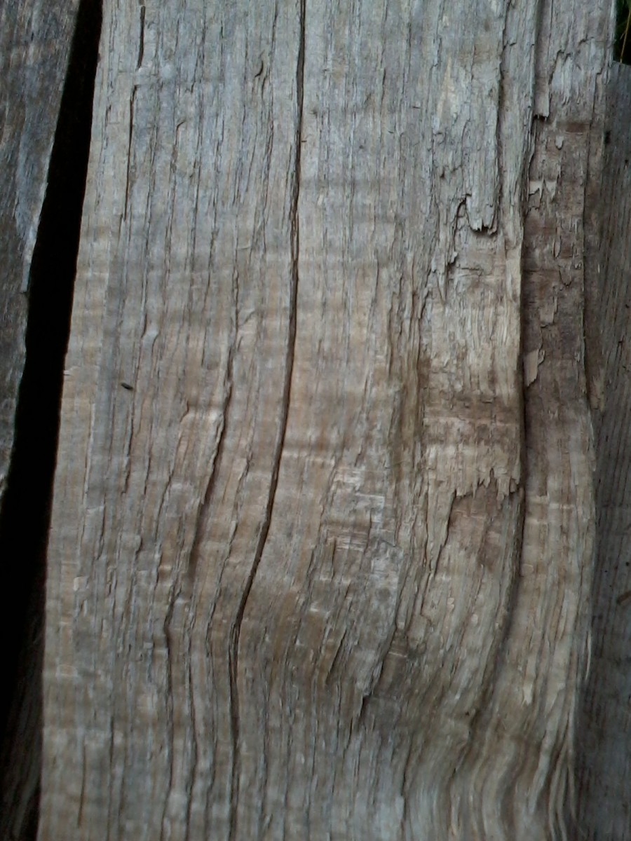 Red Oak exposed grain. I can always tell that a piece of firewood is oak because of the faint horizontal lines that run against the grain.