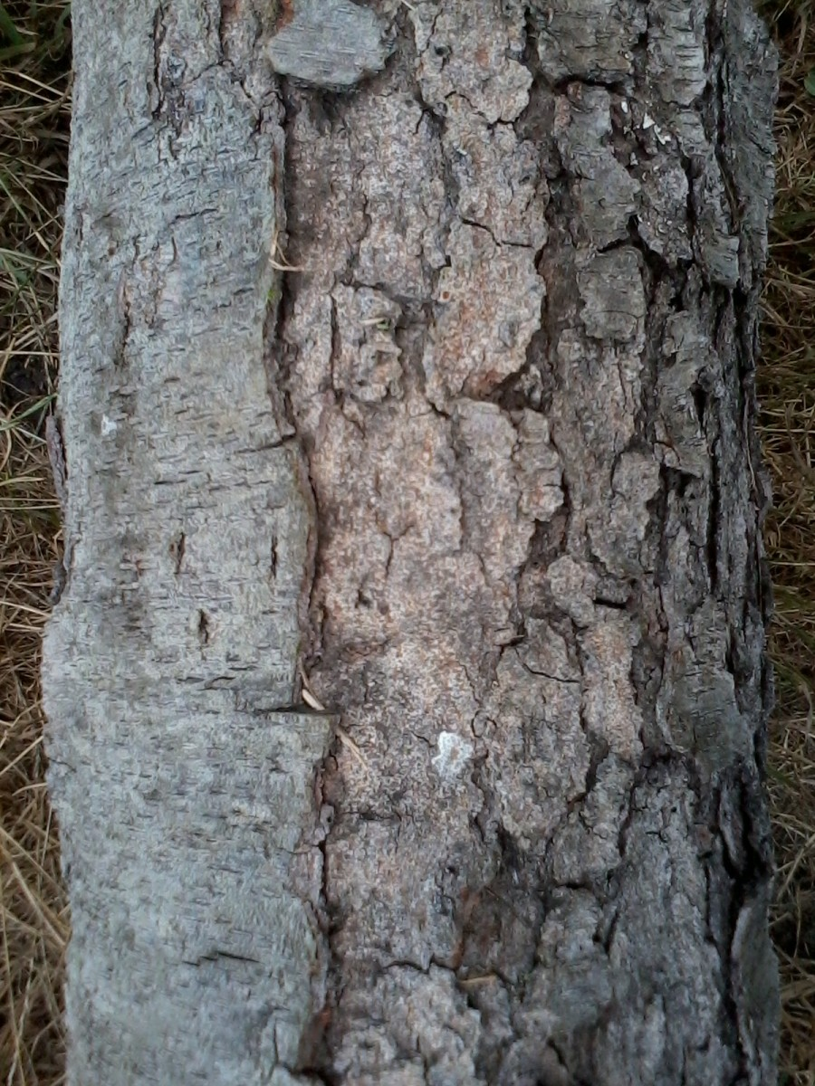 Black Cherry bark. See the short, little horizontal lines?